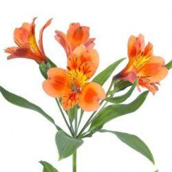 orange peruvian lily