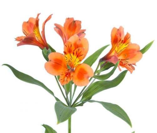 Orange Alstroemeria Lily Flowers Bulk Flowers Jr Roses Wholesale