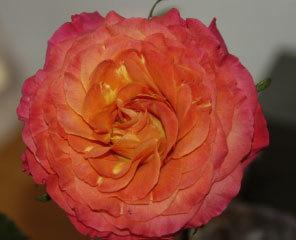 Orange Garden Rose