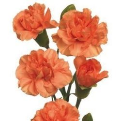 Orange-Mini-Carnation-flower