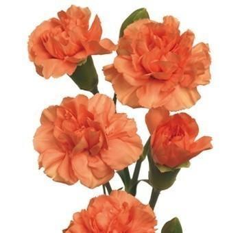 Orange-Mini-Carnation-flower