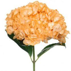 Orange hydrangea