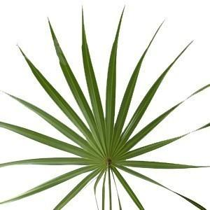 Palmetto Fan Foliage