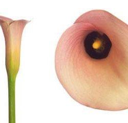 Peach Calla Lily
