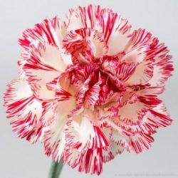 peppermint carnation flower
