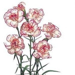 Peppermint Mini Carnations