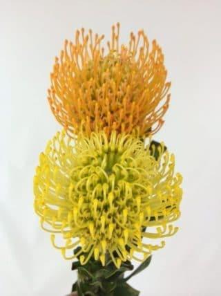 Pincushion Tropical Flower