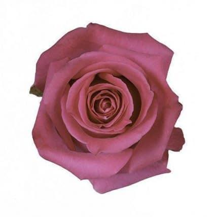 Pink Floyd Rose