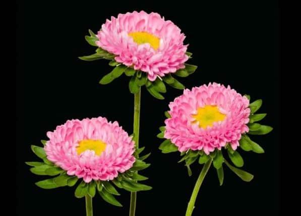 Pink Matsumoto Aster