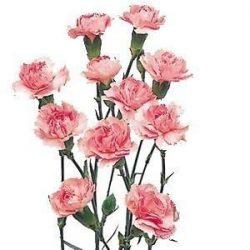 light-Pink-Mini-Carnation-flower