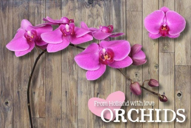 Pink Phalaenopsis Butterfly Orchids