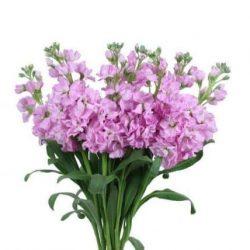 pink stock flower
