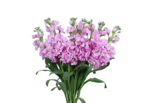 Stock flower archives j r roses wholesale flowers pink stock flowers mightylinksfo