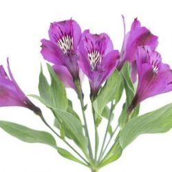 Purple-Alstroemeria