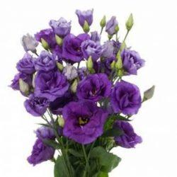 Purple-Lisianthus