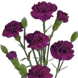 Purple Miniature Carnation flower