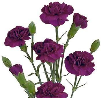 Purple Miniature Carnation flower