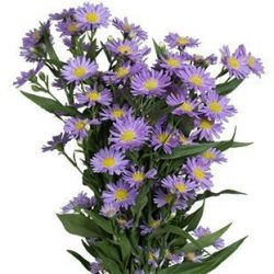 Purple-Monarch-aster-flower