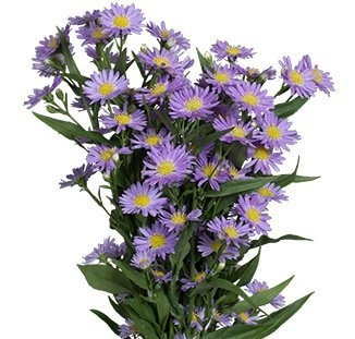 Purple-Monarch-aster-flower