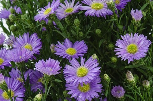 Purple-Monarch-aster