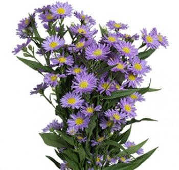 lavender-aster