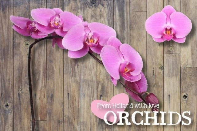 Purple Phalaenopsis Butterfly Orchids