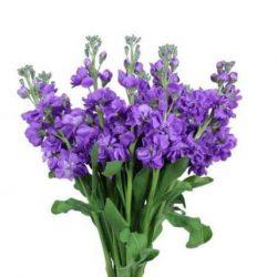 Purple Stock Flower