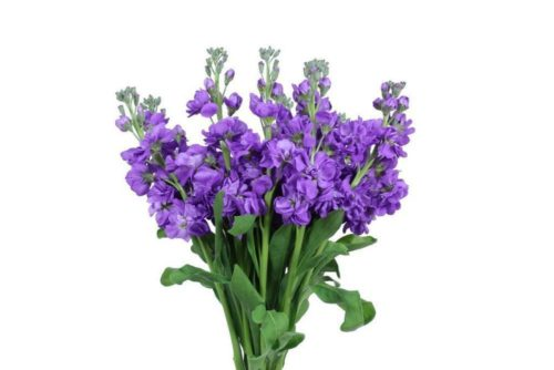 Purple Stock Flower