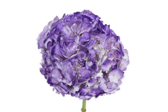 Purple Tinted Hydrangeas