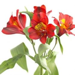 Red-Alstroemeria