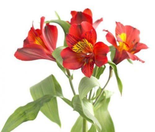 Red-Alstroemeria