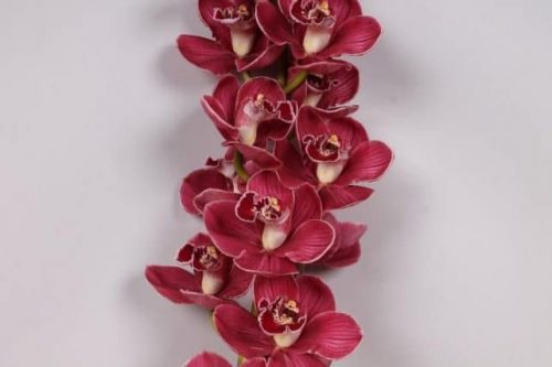 Red Cymbidium Orchid