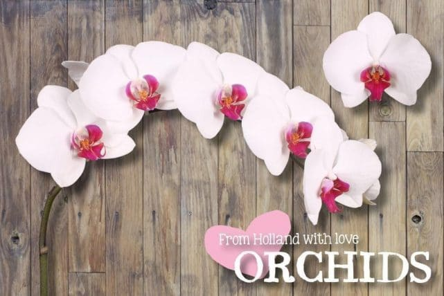 Red Lip Phalaenopsis Butterfly Orchids