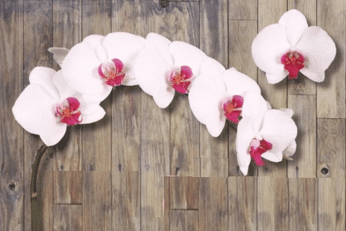 Red-Lip-Phalaenopsis-Orchid
