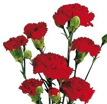 Red Mini Carnation flower