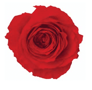 Red Preserved Roses