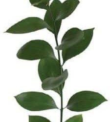 israeli-ruscus