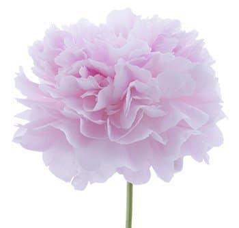 Sarah-Bernhardt-pink-peony