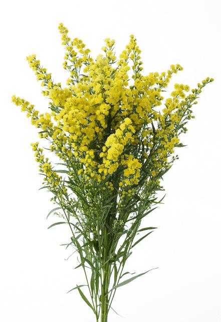 Solidago-yellow-aster