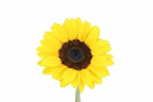 sunflowers-wholesale