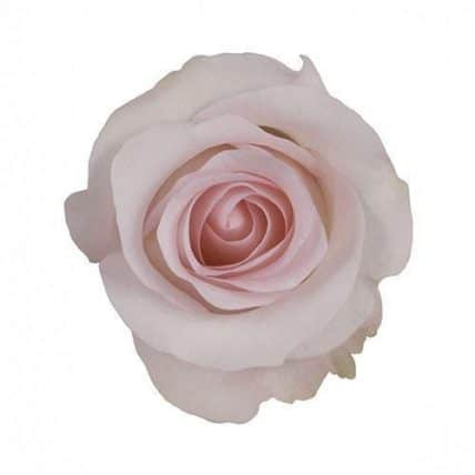 Sweet Akito Blush Pink Roses Wholesale Wedding Flowers Bulk Flowers