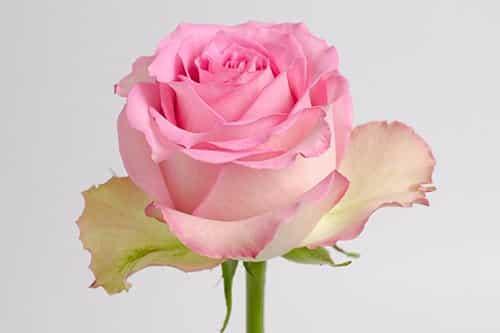 Sweet-Unique-rose