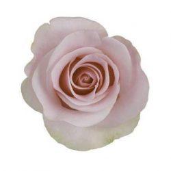 Titanic Light Pink Rose