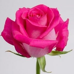 Topaz-hot-pink rose