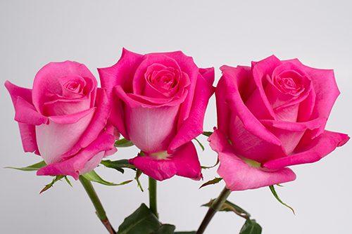 Topaz-hot-pink-roses