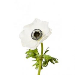 White Anemone with black Center flowers