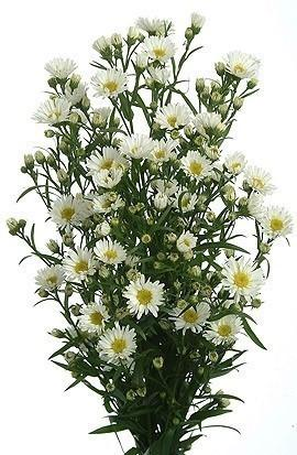White aster flower 10 bunch bulk j r roses wholesale flowers mightylinksfo