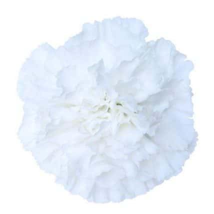 White Carnation Flower