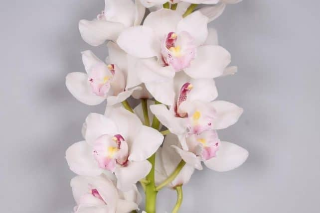 White Cymbidium Orchid 10 Stems Bulk Flowers