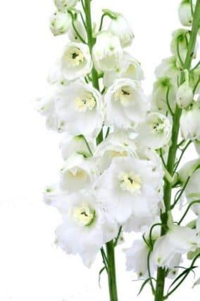 White delphinium wedding flowers 100 stems j r roses wholesale flowers white delphinium home white flowers mightylinksfo
